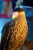 Falk som i stillhet står arkivfoto