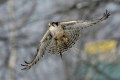 Falke stockfoto