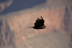 Falke stockbild