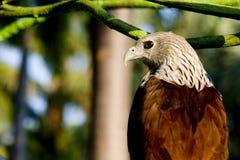 Falke stockfotografie