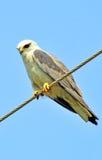 Falke stockbilder