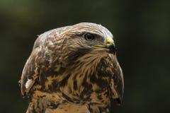 Falke, Accipiter gentilis stockfotografie