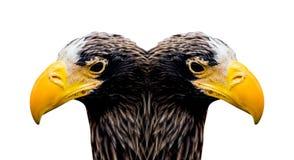 Falke, Adler Stockfoto