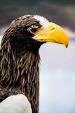 Falke, Adler Stockbild