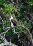 Falke auf Baum Stockfoto