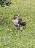 Falke auf dem Gebiet Stockfotografie