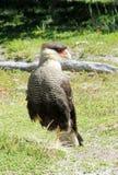 Falke auf dem Gras Lizenzfreie Stockfotografie
