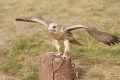 Falke auf dem Kabel Lizenzfreies Stockbild