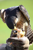 Falke auf den Falknerhandschuhen Lizenzfreie Stockfotos