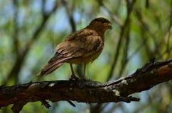 Falke auf einem Baum Stockbilder