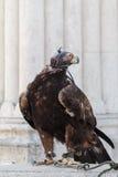 Falke auf einem Stein Lizenzfreie Stockfotos