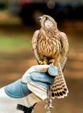 Falke auf Lenkerhand und oben -schauen Lizenzfreie Stockfotos