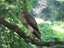 Falke auf Niederlassung Stockfotografie