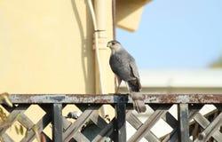 Falke auf Schiene Lizenzfreie Stockfotografie