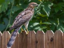 Falke auf Zaun Lizenzfreies Stockbild