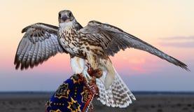 Falke-Aufstellung stockfoto