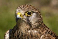 Falke-Auge Stockfotografie
