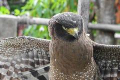 Falke ausländisch oder Adler Nahaufnahme Lizenzfreie Stockfotografie