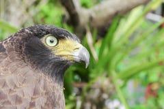 Falke ausländisch oder Adler Nahaufnahme Lizenzfreie Stockfotos
