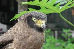 Falke ausländisch oder Adler Nahaufnahme Stockfoto