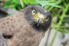 Falke ausländisch oder Adler Nahaufnahme Stockbild