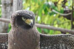 Falke ausländisch oder Adler Nahaufnahme Stockfotografie