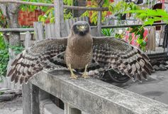 Falke ausländisch oder Adler Nahaufnahme Lizenzfreies Stockbild