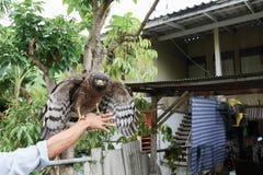 Falke ausländisch oder Steinadler, der an Hand sitzt Lizenzfreies Stockbild