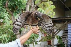 Falke ausländisch oder Steinadler, der an Hand sitzt Lizenzfreie Stockfotos