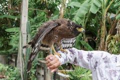 Falke ausländisch oder Steinadler, der an Hand sitzt Lizenzfreie Stockfotografie