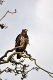 Falke gehockt auf Baumast Stockbild