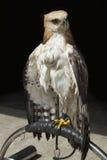 Falke, der auf Niederlassung sitzt Stockfotos