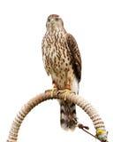 Falke, der auf Unterstützung sitzt Stockbild