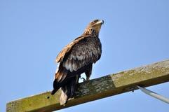 Falke, der Himmel betrachtet Stockbild
