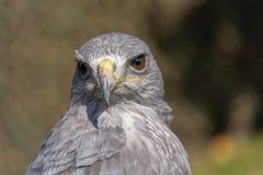 Falke, der die Kamera schaut lizenzfreie stockbilder