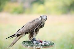 Falke, der eine Taube isst Stockfotografie