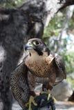 Falke, der für Flug sich vorbereitet Stockfotografie