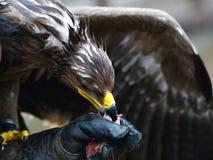 Falke, der Fleisch isst Stockfotos