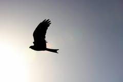 Falke, der im Himmel ansteigt Stockbild