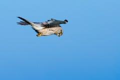 Falke in der Luft Lizenzfreie Stockbilder