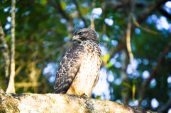 Falke, der nach einem möglichen Opfer sucht Lizenzfreies Stockfoto