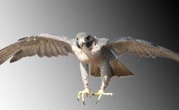Falke, der in schnelles, Absicht auf Opfer kommt lizenzfreies stockfoto