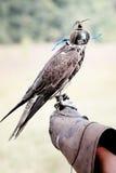 Falke, der seine Haube trägt Lizenzfreies Stockfoto