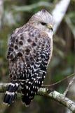 Falke, der seine Rückseitenfedern zeigt Stockfoto
