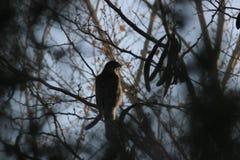 Falke des Fassbinders (Accipiter cooperii) Stockfotografie