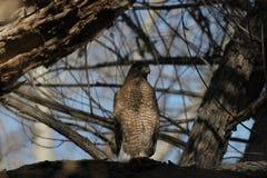 Falke des Fassbinders (Accipiter cooperii) Stockbild