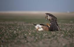 Falke-Duck Attack Desert Nature Wild-Leben-Tierinstinkt lizenzfreies stockfoto