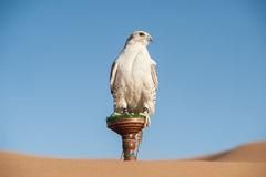 Falke in einer Wüste Stockfotografie