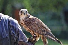 Falke, Falco cherrug. Lizenzfreie Stockfotografie