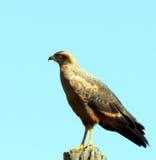 Falke-Falke Rupornis-magnirostris Lizenzfreies Stockbild
